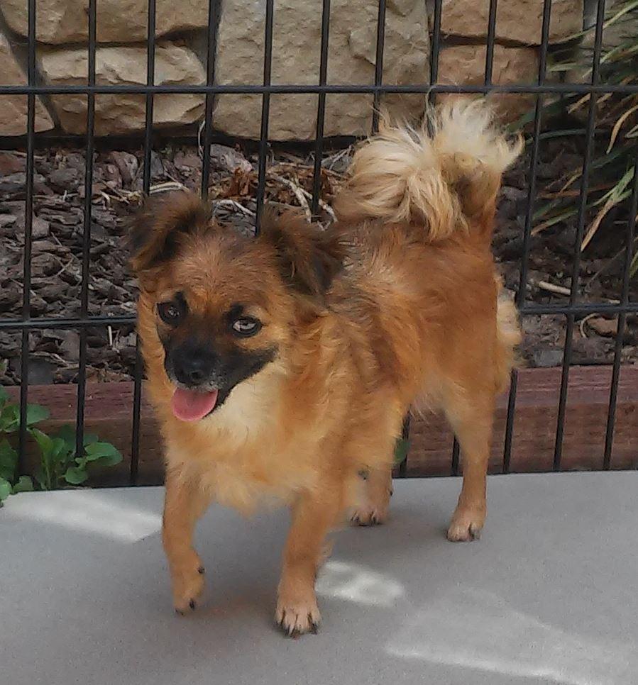 cute dog chihuahua