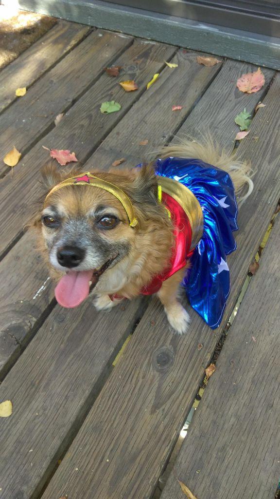 cute dog in wonder woman costume