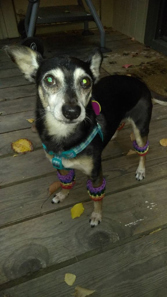 dog in legwarmers on patio