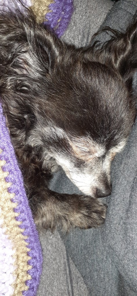 sleeping  chihuahua with blanket