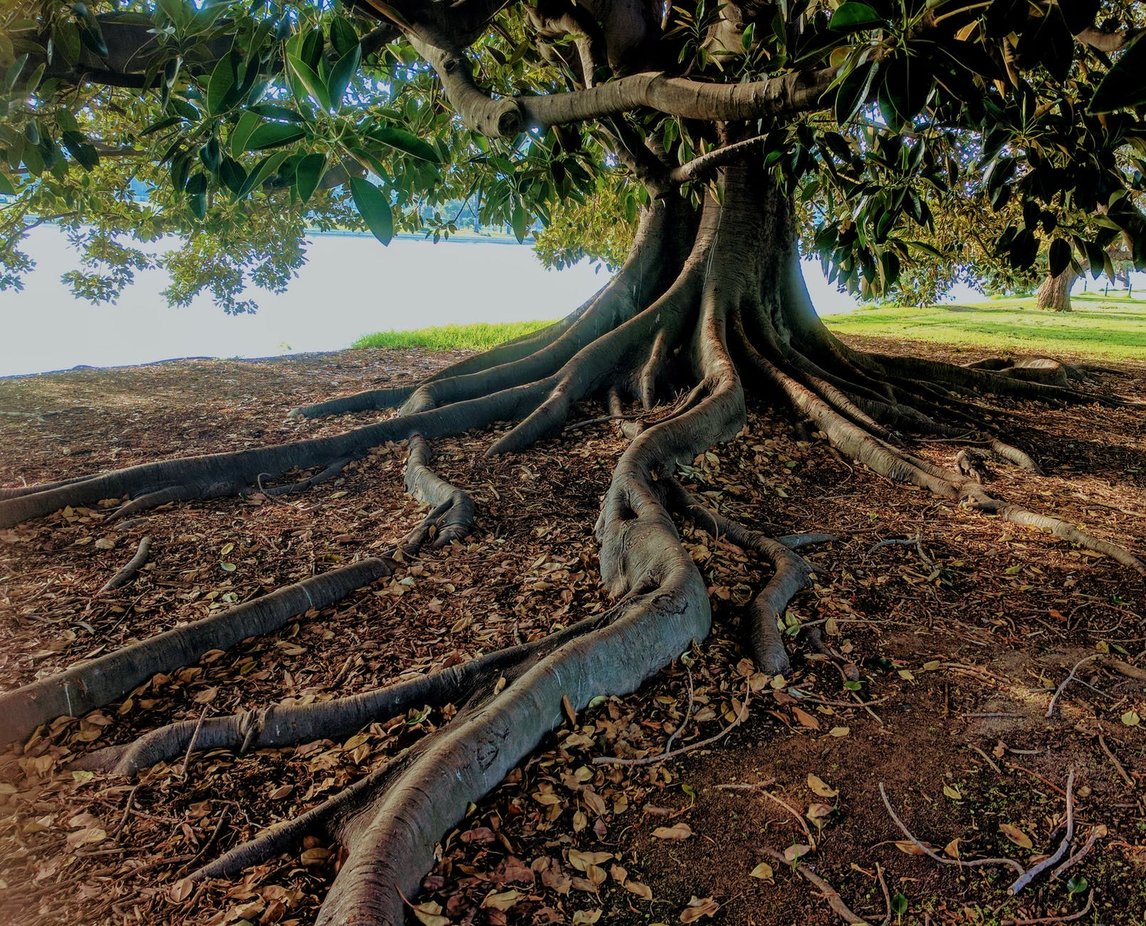 tree with large root system